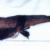 http://www.arca.museus.ul.pt/ArcaSite/obj/peixes/MUHNAC-0001764-MB-IMG-web.JPG