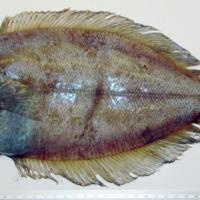 http://www.arca.museus.ul.pt/ArcaSite/obj/peixes/MUHNAC-0001766-MB-IMG-web.JPG