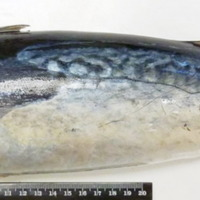 http://www.arca.museus.ul.pt/ArcaSite/obj/peixes/MUHNAC-0001787-MB-IMG-web.JPG