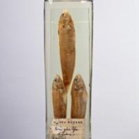 http://www.arca.museus.ul.pt/ArcaSite/obj/peixes2/MUHNAC-0002161-MB-IMG-web.JPG