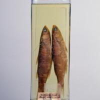 http://www.arca.museus.ul.pt/ArcaSite/obj/peixes2/MUHNAC-0002162-MB-IMG-web.JPG