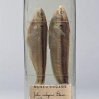 http://www.arca.museus.ul.pt/ArcaSite/obj/peixes2/MUHNAC-0002167-MB-IMG-web.JPG