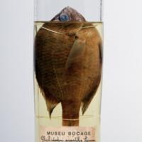 http://www.arca.museus.ul.pt/ArcaSite/obj/peixes2/MUHNAC-0002171-MB-IMG-web.JPG