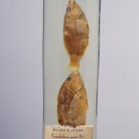 http://www.arca.museus.ul.pt/ArcaSite/obj/peixes2/MUHNAC-0002176-MB-IMG-web.JPG