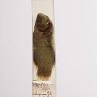 http://www.arca.museus.ul.pt/ArcaSite/obj/peixes2/MUHNAC-0002181-MB-IMG-web.JPG
