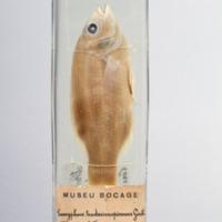 http://www.arca.museus.ul.pt/ArcaSite/obj/peixes2/MUHNAC-0002183-MB-IMG-web.JPG