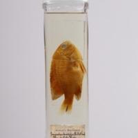 http://www.arca.museus.ul.pt/ArcaSite/obj/peixes2/MUHNAC-0002192-MB-IMG-web.JPG