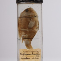 http://www.arca.museus.ul.pt/ArcaSite/obj/peixes2/MUHNAC-0002193-MB-IMG-web.JPG
