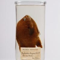 http://www.arca.museus.ul.pt/ArcaSite/obj/peixes2/MUHNAC-0002194-MB-IMG-web.JPG