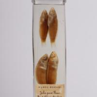 http://www.arca.museus.ul.pt/ArcaSite/obj/peixes2/MUHNAC-0002196-MB-IMG-web.JPG
