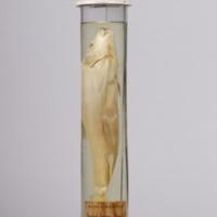 http://www.arca.museus.ul.pt/ArcaSite/obj/peixes2/MUHNAC-0002202-MB-IMG-web.JPG