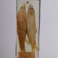 http://www.arca.museus.ul.pt/ArcaSite/obj/peixes2/MUHNAC-0002204-MB-IMG-web.JPG