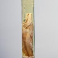 http://www.arca.museus.ul.pt/ArcaSite/obj/peixes2/MUHNAC-0002208-MB-IMG-web.JPG