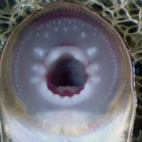 http://www.arca.museus.ul.pt/ArcaSite/obj/peixes2/MUHNAC-0002636-MB-IMG-web.JPG