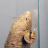 Exemplar de Pleurodeles waltl Michahelles, 1830 da coleção do Museu Nacional de História Natural e da Ciência.